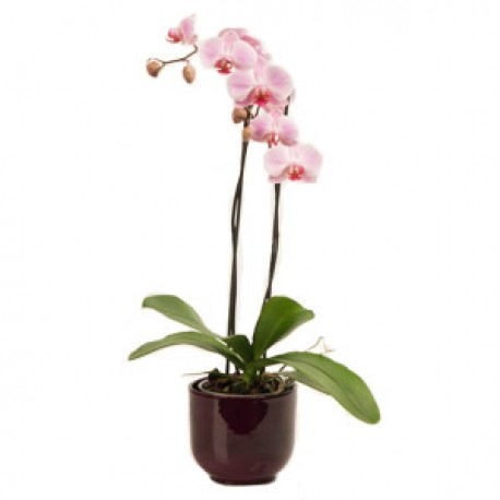 Plant orchid